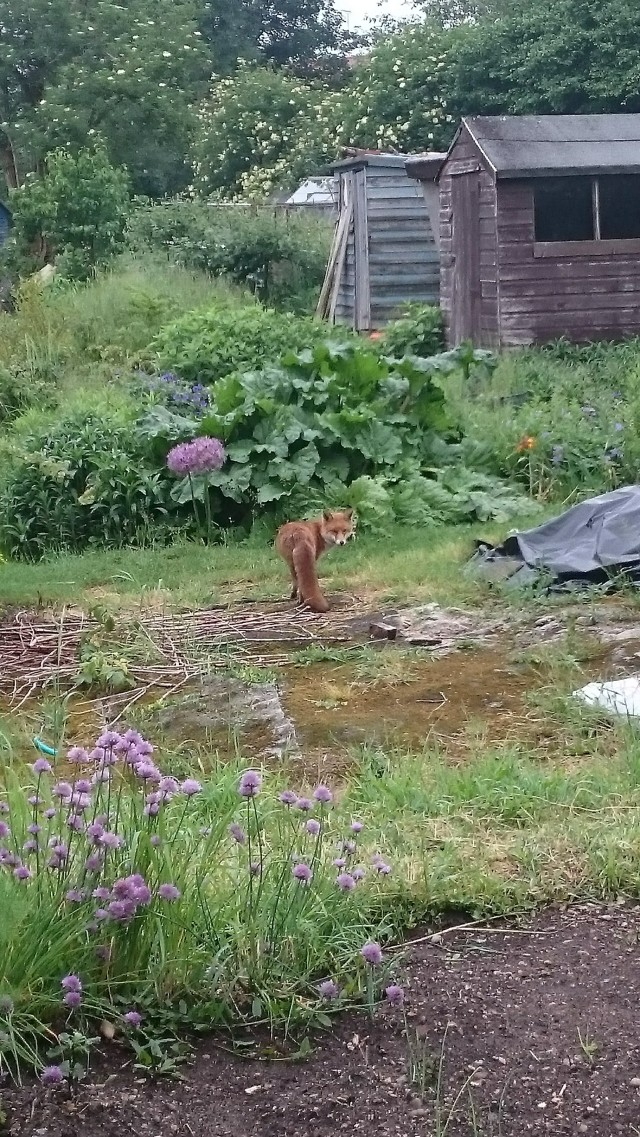 Mrs Fox on the allotments