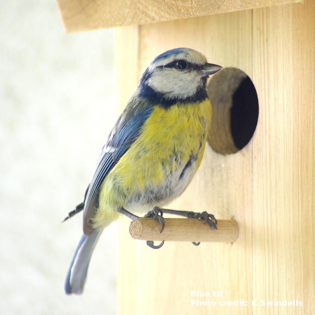 A blue tit by a nest box.